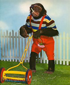 Chimp Mowing Grass